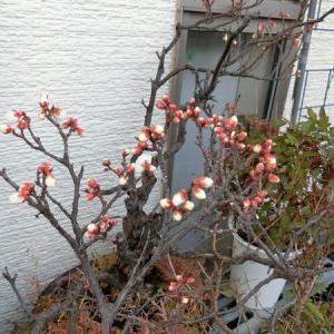 梅の花が咲きました:2020