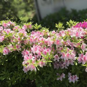 ツツジなど庭の花