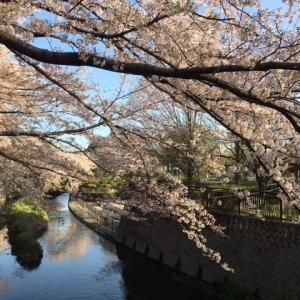 桜は満開+