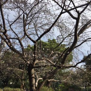 冬桜、オオバコ、ミカン