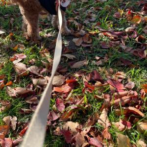ポム、桜の葉っぱふみふみ