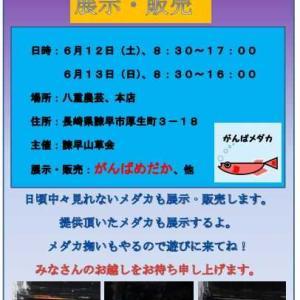 急遽、初夏のメダカイベント開催します。(o^―^o)ニコ