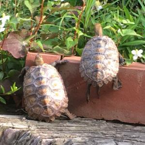 愛亀を家の庭に放してみた