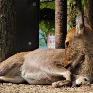 世界遺産宮島のかわいらしい鹿