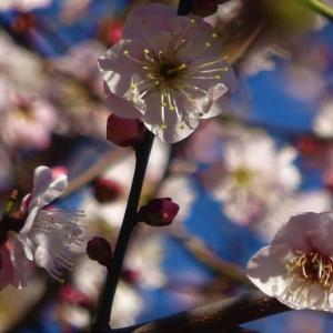 暖冬が続き梅が開花した縮景園...