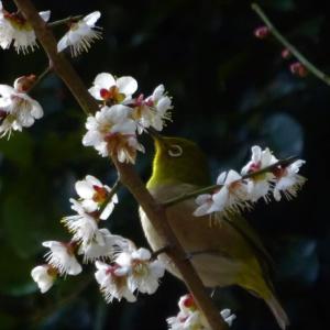可愛いらしい梅の花にやってきたメジロさん...