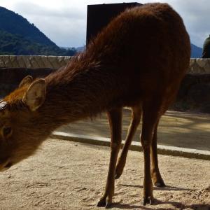 可愛いくほっこりする宮島の鹿さん...