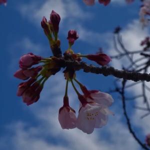 桜の木に当然現れたツグミ...
