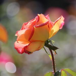 雨上がりの中咲き誇る薔薇...