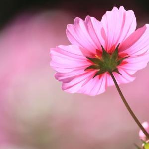 秋に咲きほこるコスモス...
