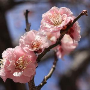 世界遺産宮島に春の季節がやってきた...