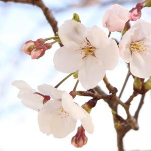 桜が五分先の比治山公園...