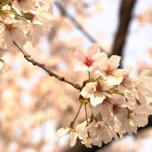 少しずつ葉桜になりつつある平和記念公園....