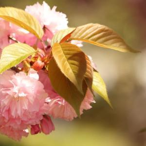 青空に恵まれた広島県造幣局八重桜