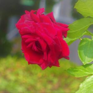広島市内 バラの庭園
