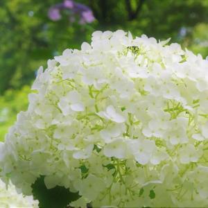 広島植物公園 紫陽花祭り