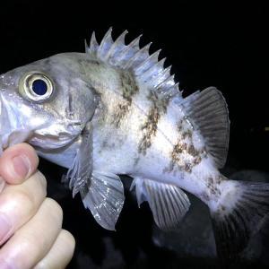 今夜の良型メバルはよく引いた❗️23cmアップの釣果は久しぶりでした〜😆