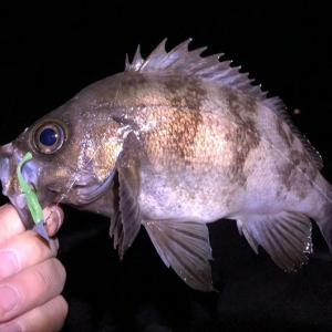 淡路島・洲本でメバル好釣❗️24cmアップの良型が釣れました〜😙