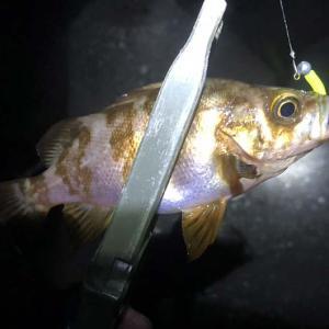 淡路島釣り。最近の洲本のメバルは渋いっす〜😂