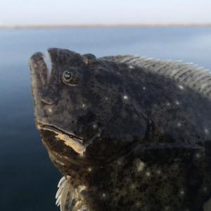 淡路島釣り。ジグ単でまさかのソゲの釣果❗️ジェリーサーディンで初釣果😁