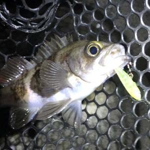 強風の淡路島・メバル釣り。ジェリーサーディンで釣果❗️オフショア計画を粛々と😁