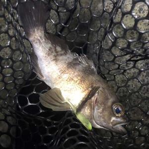 淡路島・洲本で釣り。沖をジェリーサーディンで攻略❗️釣果は良いけど、また刺された😭
