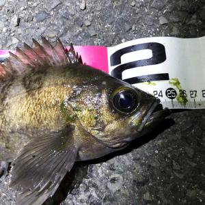 淡路島・藻場でライトゲーム❗️良型のメバルにガシラ、この魚はソイですか❓❓❓