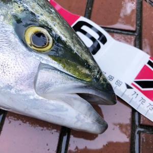 解除後の淡路島で、メジロが釣れた❗️懸賞スチールミノーでの釣果が嬉しい😆