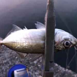 淡路島でアジ探し❗️やっと3匹釣れたけど、もっと食べたい😁アジ、美味しい😋