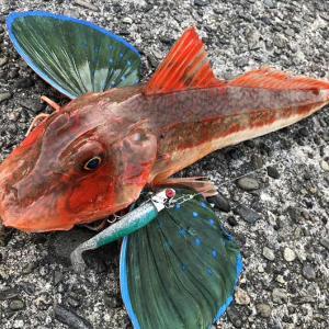 淡路島・VJ-16でホウボウが釣れた❗️高級魚らしく、リリースしないで良かった〜😁お刺身、旨し❗️