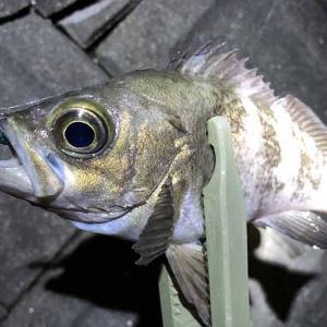 淡路島・志筑でタコ釣り。ランガンでアジ釣り。梅雨メバルも釣れたよ〜😄