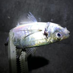 淡路島・志筑でアジ釣り。暗くならんと当らん。アタリがあっても、釣れん😂