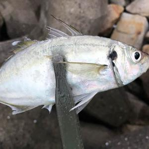 淡路島はメクリアジが回遊中❗️とっても美味しいので、今のうちに釣って(食べて)おきたい😆