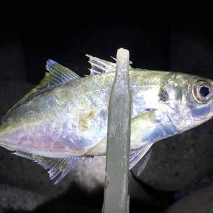 淡路島・洲本で良型アジ狙い❗️底の方を泳いでいるアジが、釣れるみたい😁