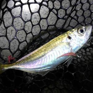 淡路島・洲本でアジング❗️今夜も良型が釣れてくれたけど、21時からの突然の強風で終了・・😭