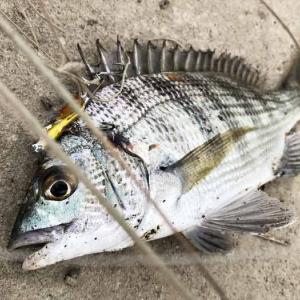 淡路島・近所の川でデイゲーム❗️キビレやチヌが釣れて、意外に遊べる〜😁