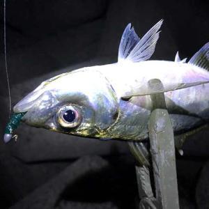 淡路島・洲本でアジング調査❗️良型アジはまだ釣れるけど、寒いっす〜😭