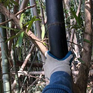 竹林の開拓を進めていたら、黒竹(クロチク)を発見しました〜😁