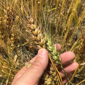 淡路島・小麦づくり2021 #03|小麦色になってます❗️もうちょっとで収穫だよ〜😁
