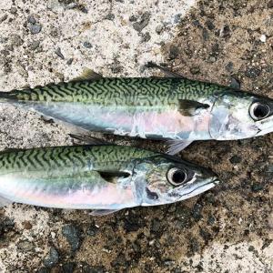 淡路島の大サバ2019、始まってました〜😁初めてのジグサビキで釣果‼️