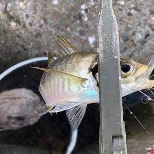 淡路島でジグサビキ。アジ狙いでしたが、釣果が欲しい時に限って、、😭