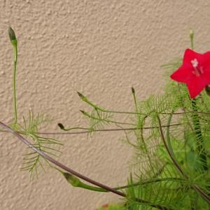 ルコウソウが咲きました*ほか