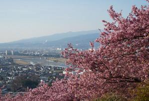 河津桜の贅沢な額縁