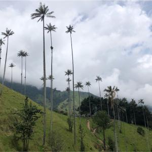 【コロンビア】ひょろっと長い、山のヤシ!ココラバレーで迷子になった話。