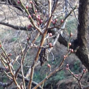 梅の枝についたミノムシ、オオイヌノフグリ