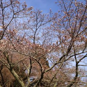 ああ、桜が咲く