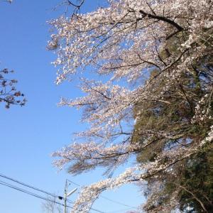 あっという間に桜が満開