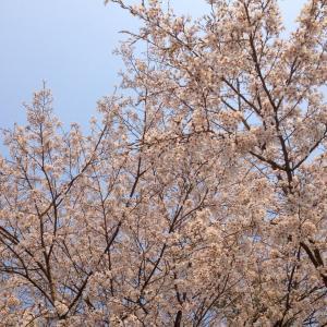 今年の桜は意外としぶとい…