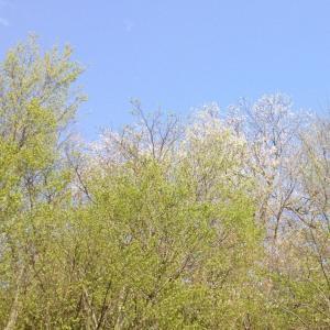 ソメイヨシノの次は山桜