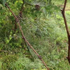 霧雨の日の蜘蛛の巣